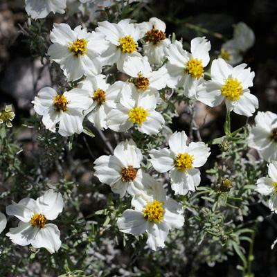 Zinnia acerosa - Desert Zinnia, Wild Zinnia, Spinyleaf Zinnia, White Zinnia